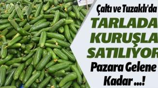 ÇALTI VE TUZAKLI'DA TARLADA KURUŞLA SATILIYOR