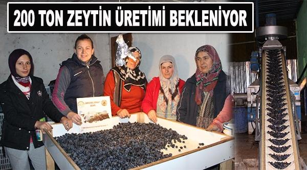 OSMANELİ'DE ZEYTİN HASADI BAŞLADI